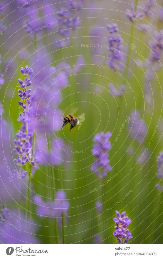 fliegende Hummel im Lavendelfeld Natur Sommer Duft Blume Blüte Pflanze violett Heilpflanzen Blühend Farbfoto Garten schön natürlich Nutzpflanze Insekt Nektar