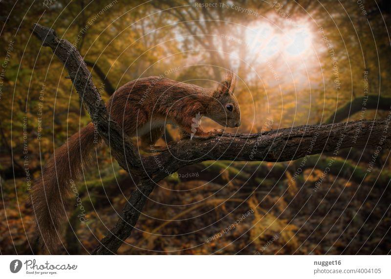 Eichhörnchen bei Sonnenaufgang im herbstlichen Wald Tier Natur niedlich Farbfoto Wildtier Außenaufnahme 1 Tag Menschenleer Tierporträt braun Umwelt