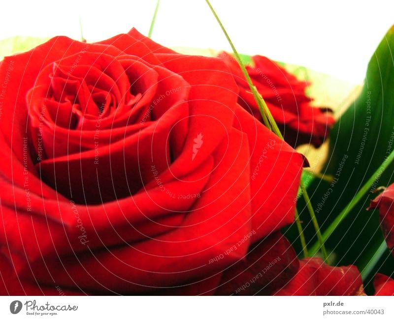 Alles Gute zum Valentinstag schön Wohlgefühl Garten Dekoration & Verzierung Feste & Feiern Blume Rose grün rot Gefühle Sympathie Verliebtheit Treue Romantik