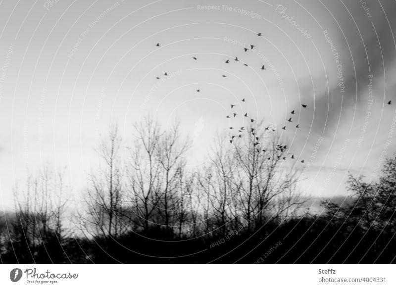 die Sehnsucht fliegt mit Vogelflug Vögel fliegen Vogelschwarm Faszination Sinn Sinnsuche nordisch Freiheit Leichtigkeit Melancholie melancholisch sehnsüchtig