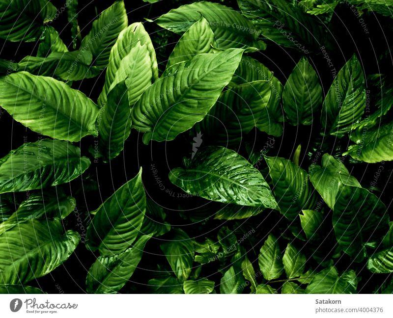 Frisches tropisches Laub erscheint in dunklem Ton als reifer Waldhintergrund grün Blatt Natur Muster Pflanze geblümt Oberfläche fruchtbar weit verbreitet