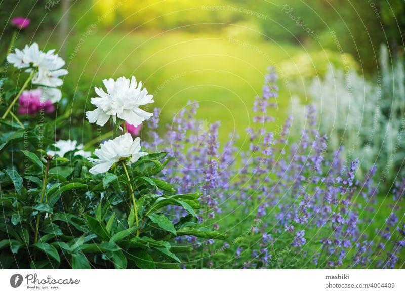 Garten im englischen Landhausstil. Pfingstrosen blühen in Grenze mit Katzenminze. Schöne Komposition mit Begleitpflanzen für Blumenbeet... Natur Pflanze Sommer
