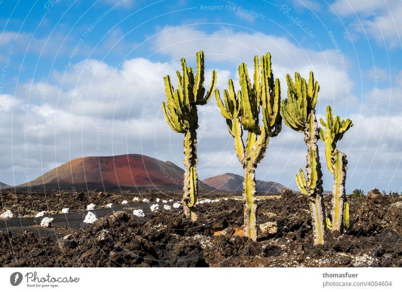 Kakteen auf Lanzarote am Weg mit Vulcan und Lava Panorama (Aussicht) Schatten Licht Tag Außenaufnahme Farbfoto Stimmung ruhig Natur Abenteuer Klima Horizont