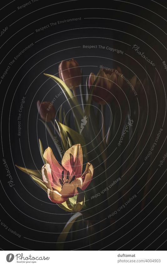 Tulpenstrauß im Sonnenlicht vor schwarzem Hintergrund, matt, Makro Floral Blume Valentinstag Pflanze Blumentrauß Frühlingsgefühle Frühlingsblume Frühlingsbote