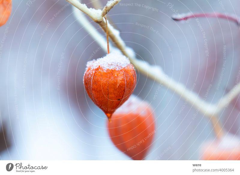 Orangefarbene Fruchtkörper einer Lampionblume im Winter blüht Kraut Überstrahlung kalt Textfreiraum Blumen Garten Gartenarbeit Natur niemand orange Pflanze
