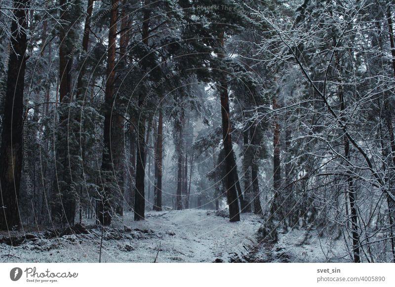 Schneefall im Kiefernwald. Mystische märchenhafte Winterwaldlandschaft im Schneesturm. Schneebedeckte Straße in einem Kiefernwald. Hintergrund schön schwarz Ast