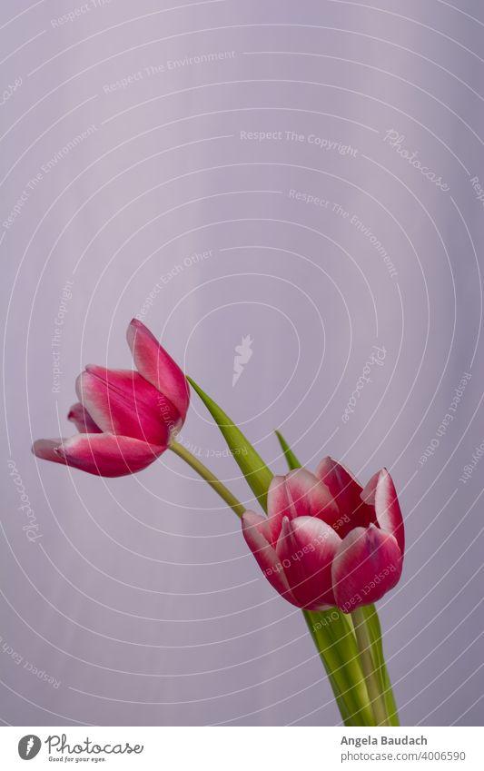 zwei rosa-weiße Tulpen auf grauem Hintergrund im Frühling Blüte Tulpenblüte Blume Blumen Blumenstrauß Frühjahr blühen Duft Geruch frisch Lenz Geschenk Muttertag
