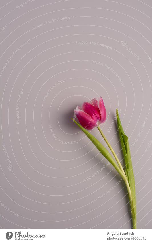 einzelne rosa-weiße Tulpe auf grauem Hintergrund im Frühling Tulpen Blüte Tulpenblüte Blume Blumen Blumenstrauß Frühjahr blühen Duft Geruch frisch Lenz Geschenk