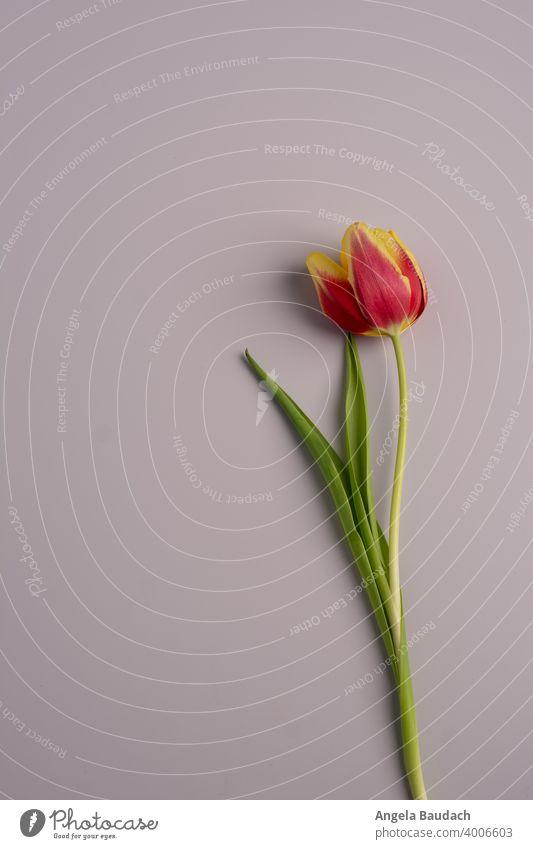 einzelne rot-gelbe Tulpe auf grauem Hintergrund im Frühling Tulpen Blüte Tulpenblüte Blume Blumen Blumenstrauß Frühjahr blühen Duft Geruch frisch Lenz Geschenk