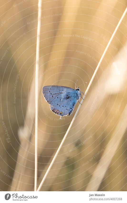 Bläuling Schmetterling Bläulinge Halm Wiese Sonnenlicht blau Fühler Rüssel starr regungslols Tier Natur Flügel schön Pflanze Naturschutz bedroht biodiversität