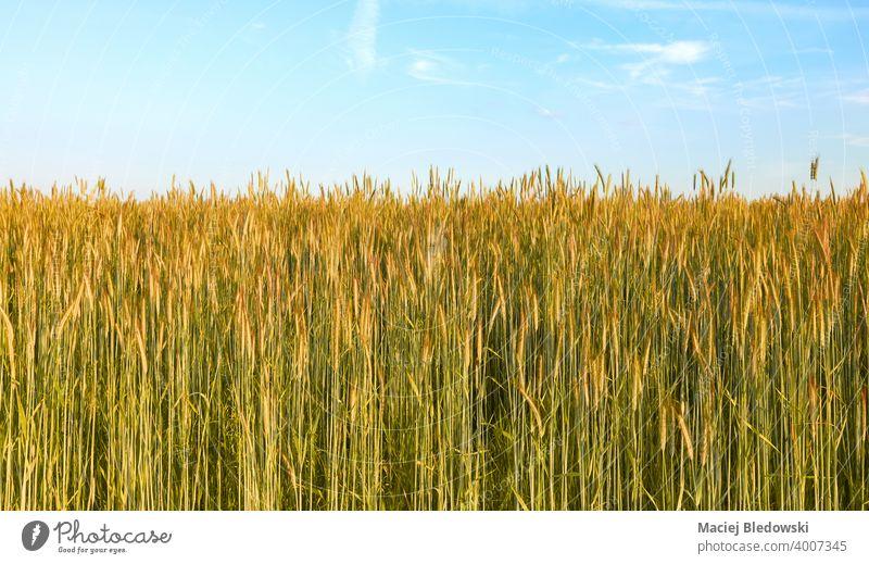 Getreidefeld an einem schönen sonnigen Tag. Feld Korn Roggen Landschaft ländlich Bauernhof Ernte Ackerbau Müsli Horizont Himmel blau Natur natürlich grün