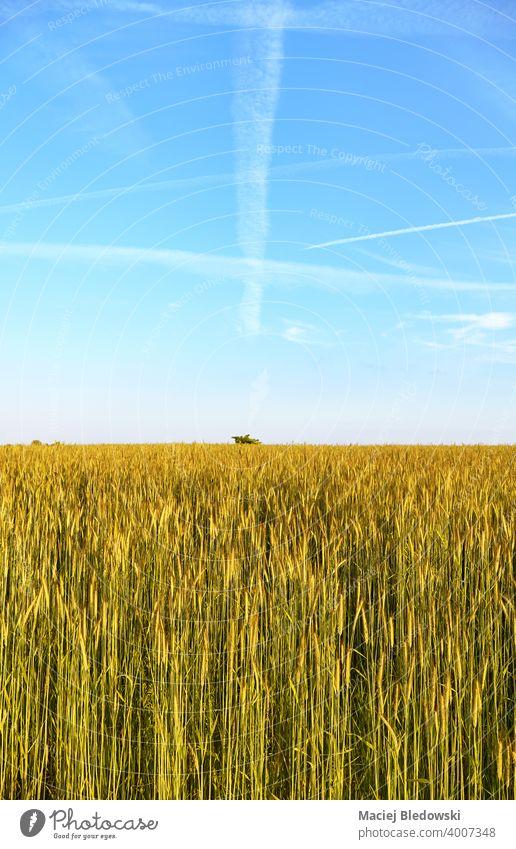 Roggenfeld an einem schönen sonnigen Tag. Feld Korn Landschaft ländlich Bauernhof Ernte Ackerbau Müsli Horizont Himmel blau Natur natürlich grün Hintergrund