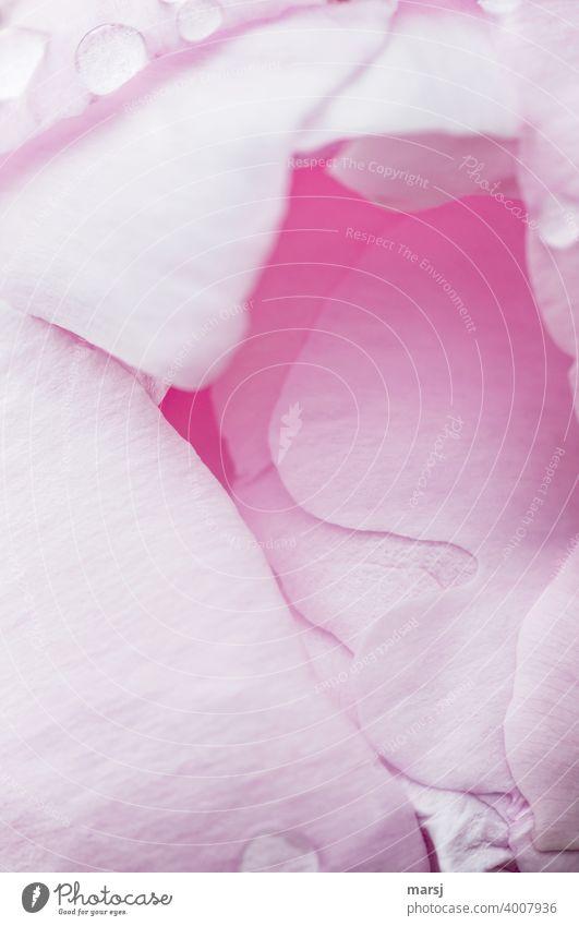 Das zuckerwattenrosa Innere, einer sich öffnenden Pfingstrosenblüte Blütenblatt Frühling Natur Wachstum Pastellfarben zartrosa mädchenfarben Garten Muster