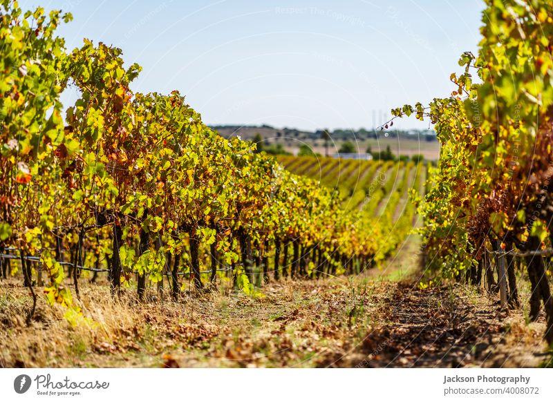 Weinberge von Alentejo im Herbst, Portugal Weinbau Traube reif viele In einer Reihe Tag sonnig Ackerbau rota dos vinhos Route Dienstplan alt fallen grün Feld