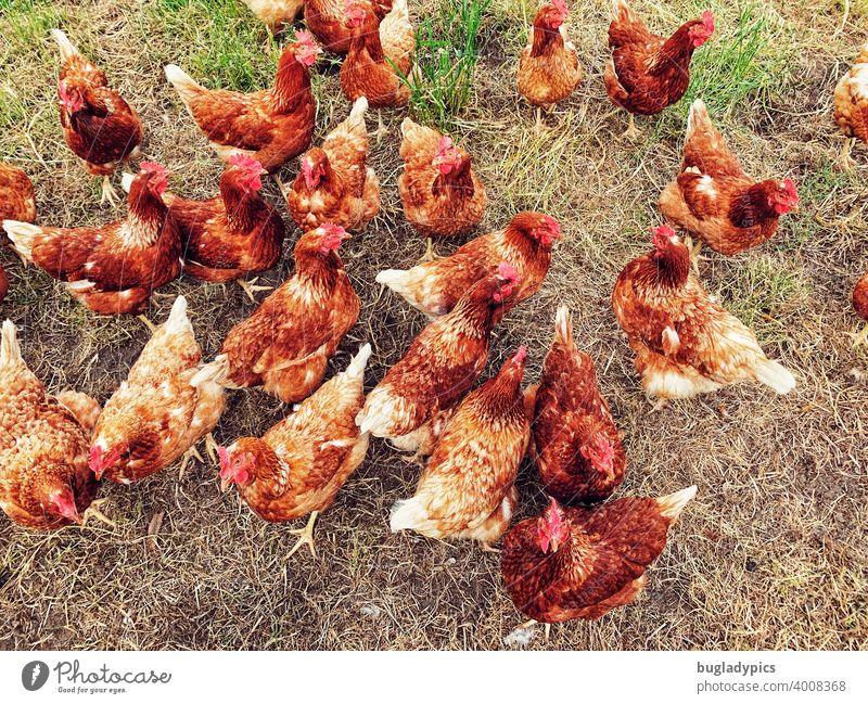 Wilder freilaufender Hühnerhaufen Hühnervögel Vögel Schwarm Rasen Wiese Gehege Vogel Tier Nutztiere Nutztierhaltung Gras Bauernhof Landwirtschaft Tierhaltung