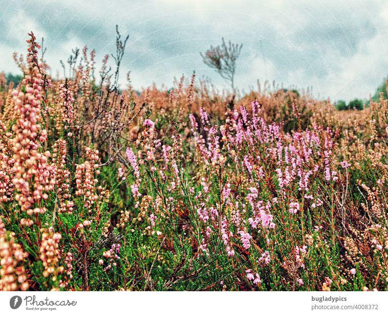 Heidekraut Heidekrautgewächse Heidelandschaft Landschaft Lüneburger Heide Sträucher rosa Blütenpflanze Blumen Blumenwiese Herbst Sommer Pflanze Natur violett