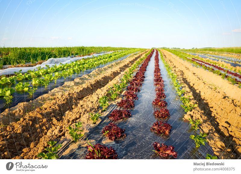 Biologisches Gemüseanbau-Feld mit Flecken, die bei Sonnenuntergang mit Plastikmulch bedeckt sind. Öko Ackerbau Bauernhof Lebensmittel Mulch organisch Folie