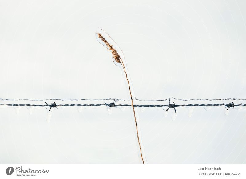 Eisumhüllte Ähre gekreuzt von einem eisumhüllten Stacheldrahtzaun kalt Wasser Schnee Frost Winter gefroren blau Raureif Eiszapfen frieren Eiskristall Natur