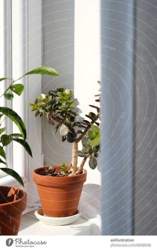 Pflanze auf der Fensterbank Geldbaum Topfpflanze Grünpflanze Farbfoto Zimmerpflanze Wohnung Vorhang Fensterbrett Blumentopf grün Licht Schatten Gardine Tag