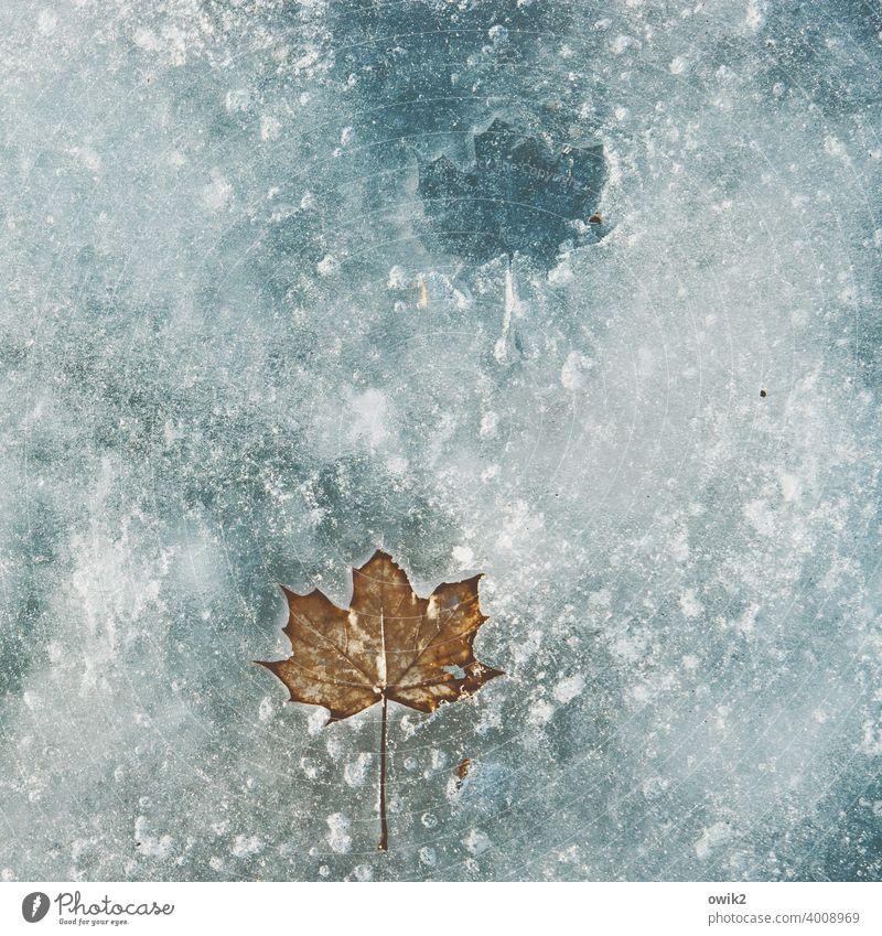 Haltbar Blatt Winter erstarren gefroren Eisscholle Idylle Einsamkeit ruhig warten kalt frieren See Wasser Reinheit demütig Trauer Vergänglichkeit Außenaufnahme