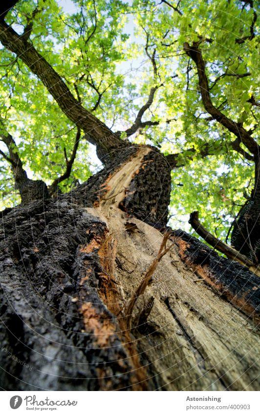 Riss Umwelt Natur Landschaft Pflanze Himmel Sommer Wetter Schönes Wetter Baum Blatt Grünpflanze Wald Holz stehen alt hoch Baumrinde Baumstamm Ast Zweige u. Äste