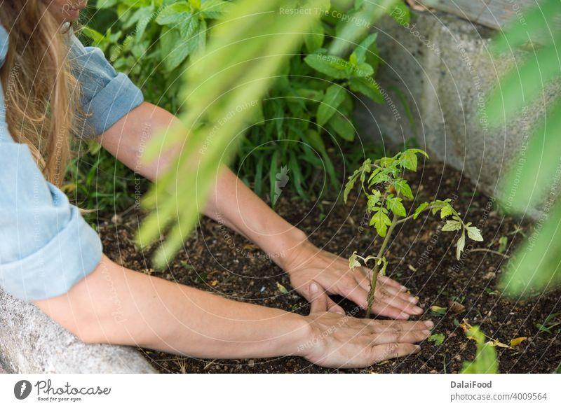 Tomatenpflanze im Naturland Ackerbau Hintergrund kultiviert Bodenbearbeitung Schmutz Bauernhof Landwirt Landwirtschaft Lebensmittel frisch Garten Gärtner