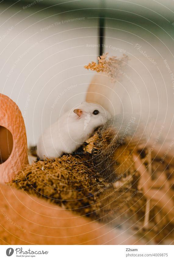 Hamster hamster haustier nagetier nager essen gehege weiß klein niedlich Fell Nagetiere Tierporträt Schwache Tiefenschärfe
