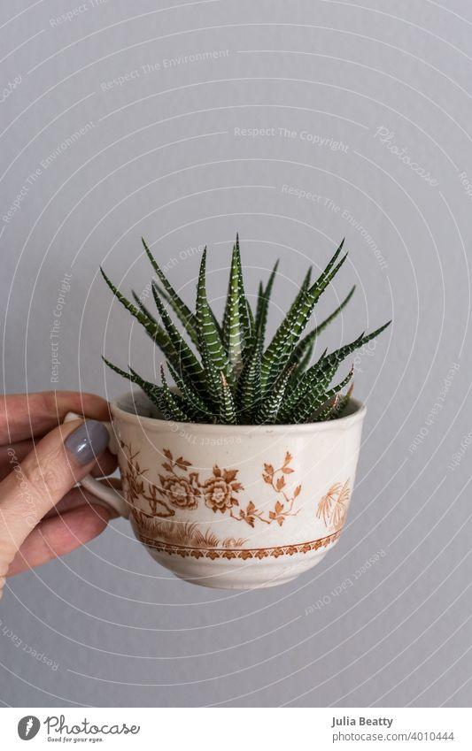 Hand hält antike Teetasse mit Kakteen wachsen im Inneren; schrullig und überraschendes Bild Pflanze Kaktus filigran Keramik Topf grün vereinzelt Natur Botanik