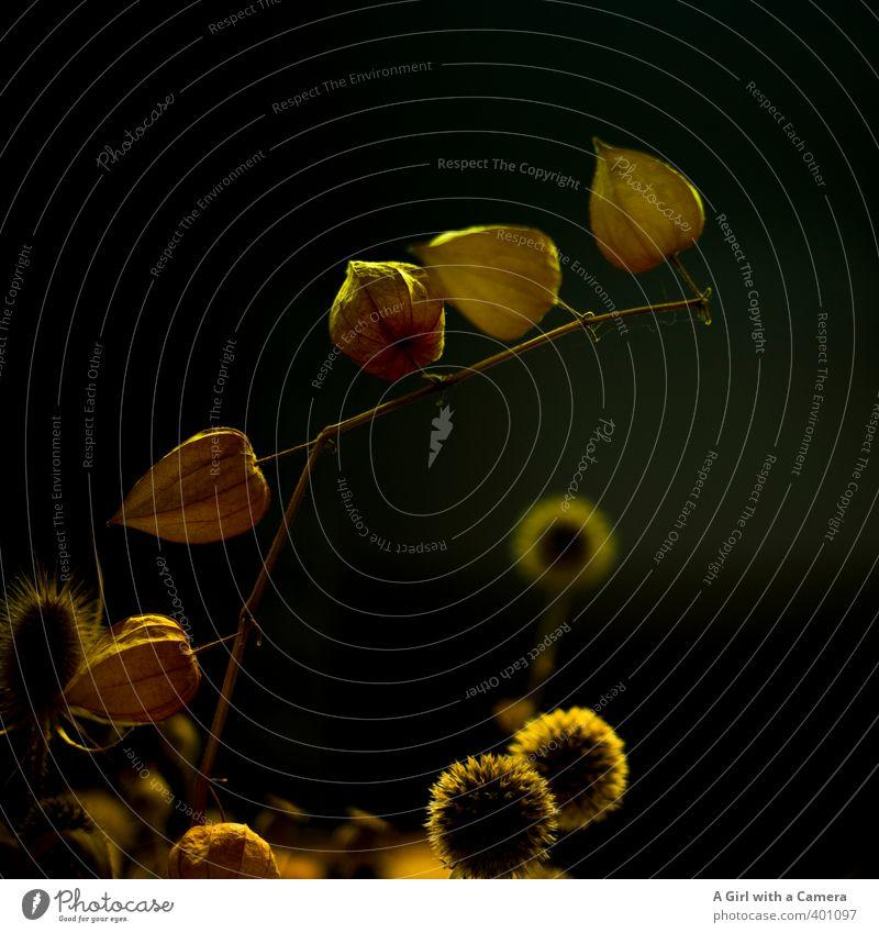 still life Umwelt Natur Pflanze Herbst Blume Blüte Lampionblume trocken Trockenblume Gedeckte Farben Innenaufnahme Nahaufnahme Detailaufnahme