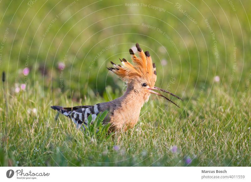 Wiedehopf, Upupa epops, hoopoe Federhaube Gras Sommer Tier Tiere Voegel Vogel Wiese Zugvogel Zugvoegel beute bunt eat engerling farbig fressen gruen nahrung