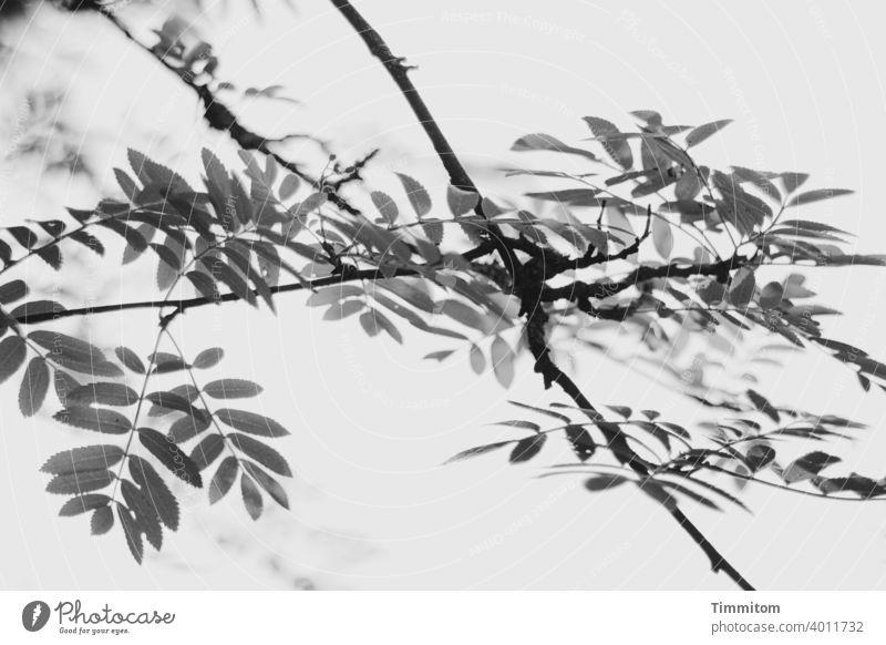 Raum für Gedanken Zweige u. Äste Blätter Natur Baum Blatt sanft Schwarzweißfoto Tiefe verschwommen