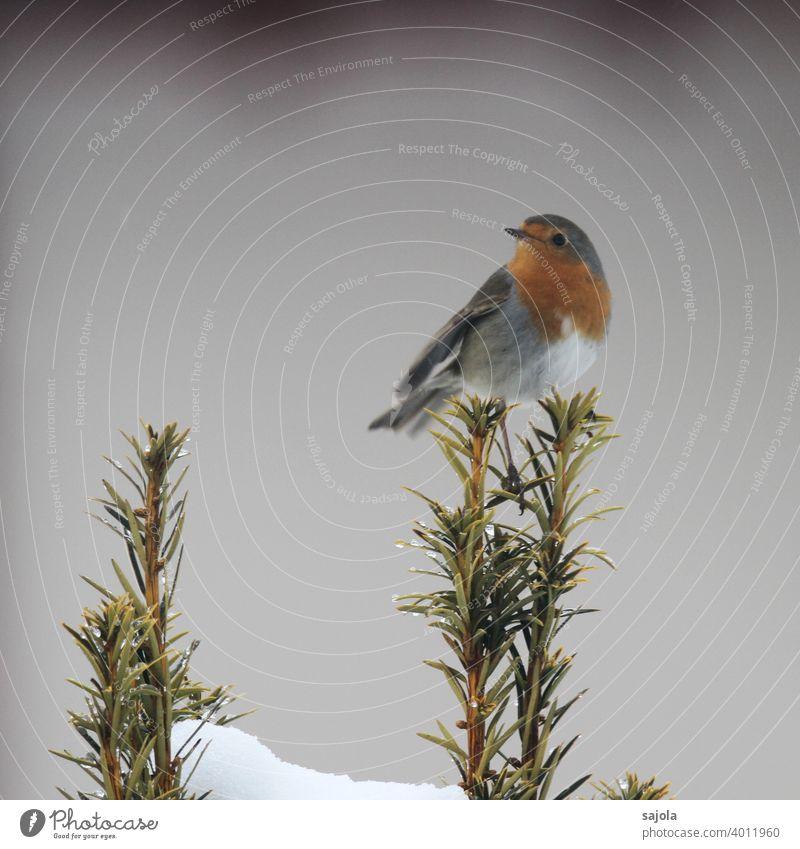 Rotkehlchen - Rotbrüstchen Vogel Tier fauna Winter rotbrüstchen sitzen schauen