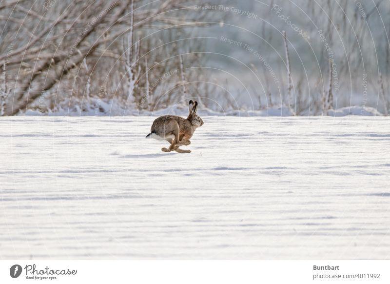 Feldhase im Galopp Hase Säugetier Kleintier laufen rennen Schnee Acker Winter galoppieren flüchten schnell Tier Außenaufnahme Natur Farbfoto Menschenleer