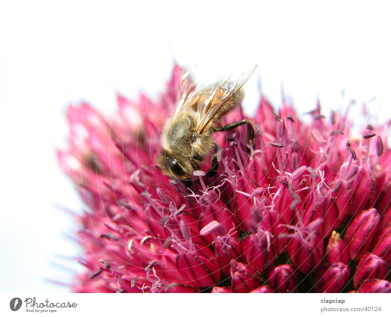 Biene Blume Pflanze bestäuben Natur