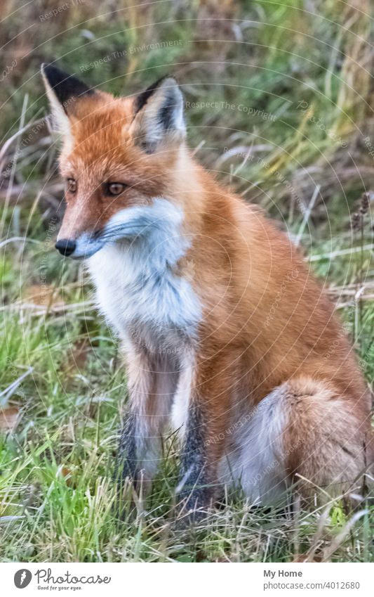 Fuchsgesicht. Fox vor der Kamera. Krasnoayrsk, Russland Tier Tiere Biest Bestien schön Buchse Nahaufnahme listig Füchse Gras grün Suppengrün Küchenkräuter jagen