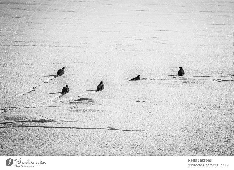 Gruppe von wilden grauen Rebhühnern auf der Suche nach Nahrung und Verstecken im Winterfeld Tier Tiere Hintergrund Vogel Vögel Borte hell braun kalt niedlich