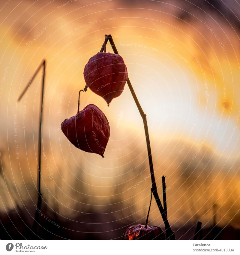 Früchte der Phsaliys  am Abend Natur Flora Pflanze Solanaceae Nachtschattengewächse Lampionblume Frucht Dämmerung Himmel schönes Wetter Abendlicht Orange Rot