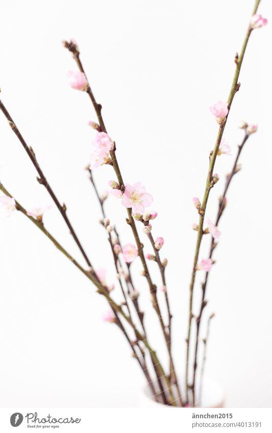 Zweige mit rosafarbenen Blüten Frühling Ostern Natur Farbfoto Menschenleer schön Garten natürlich Blühend Ast Dekoration & Verzierung Frühlingsgefühle