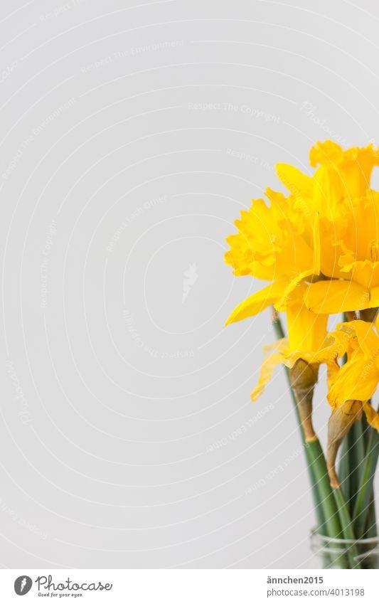 Am rechten Bildrand sieht man einen Strauß mit gelben Narzissen Ostern Frühling Farbfoto Natur Pflanze Feste & Feiern Blatt Blumenstrauß Dekoration & Verzierung