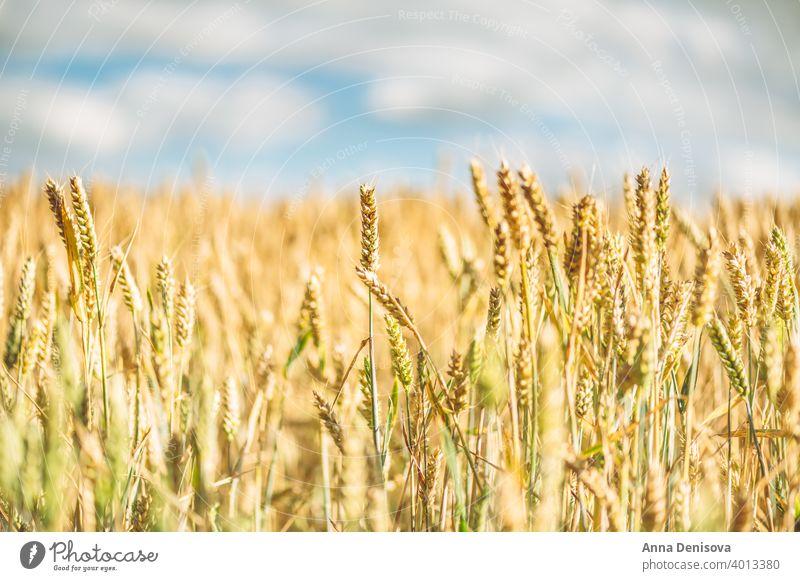 Feld mit goldenem Weizen Roggen Korn Ernte Landschaft Müsli Bauernhof Ackerbau gelb Sommer Pflanze Wachstum Himmel Natur Saison sonnig Cloud Szene hell