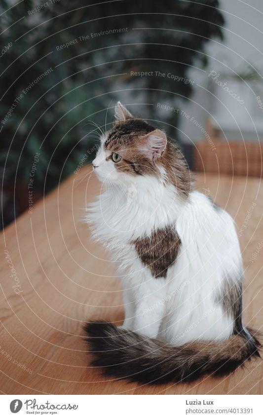 Katze mit langem Fell sitzt auf einem Tisch aus Holz und beobachtet etwas, das nur sie sieht Kater langhaarig Langhaarige Katze Haustier Tier Hauskatze Blick