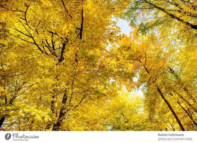 Der goldene Herbst in den Baumkronen alter Buchen Herbstlaub Bäume Wald Sonnenlicht Herbstwald Herbstfärbung Natur herbstlich Menschenleer Umwelt Herbstwetter