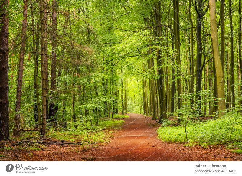Ein Frühlingsspaziergang in einem Wald bei Berlin Buchen Fichten Weg Spaziergang menschenleer Landschaft Außenaufnahme Baum Natur Umwelt Farbfoto Bäume wandern