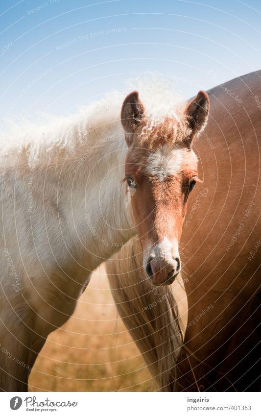 Fisheye Natur blau weiß Tier Auge Tierjunges klein braun beobachten Pferd Weide Tiergesicht Vertrauen Ponys Nutztier Sympathie