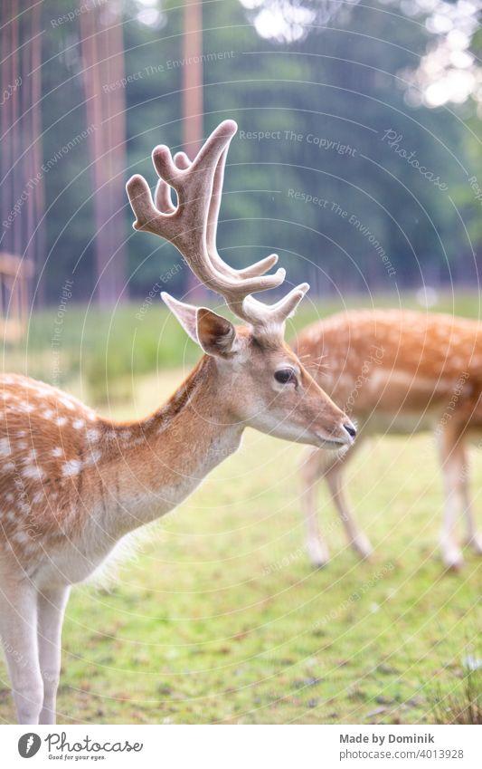 Dammwild in der Natur Wildtier Wildtierfotografie dammwild Reh Farbfoto Tier Außenaufnahme Säugetier Tierporträt Wiese Hirsche Tag grün braun Horn Wald Gras