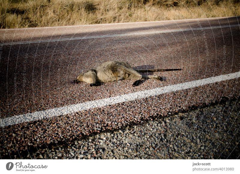 kleines totes Känguru liegt angefahren auf der Straße Känguruh Totes Tier Asphalt Wildtier Australien Tod Fahrbahnmarkierung Fundort Wallaby Opfer Schatten
