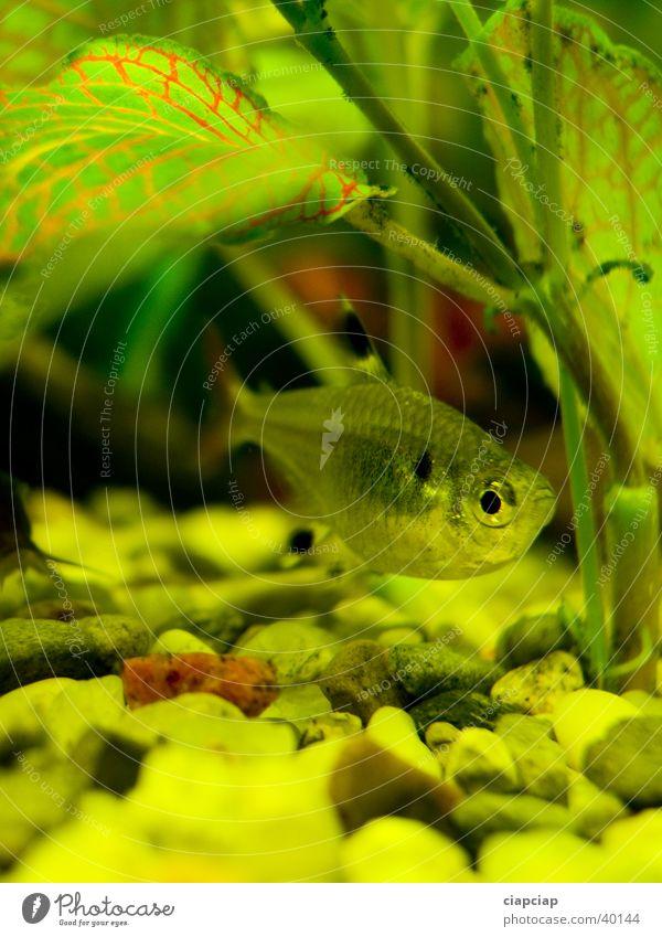 fishe im Aquarium Wasser grün