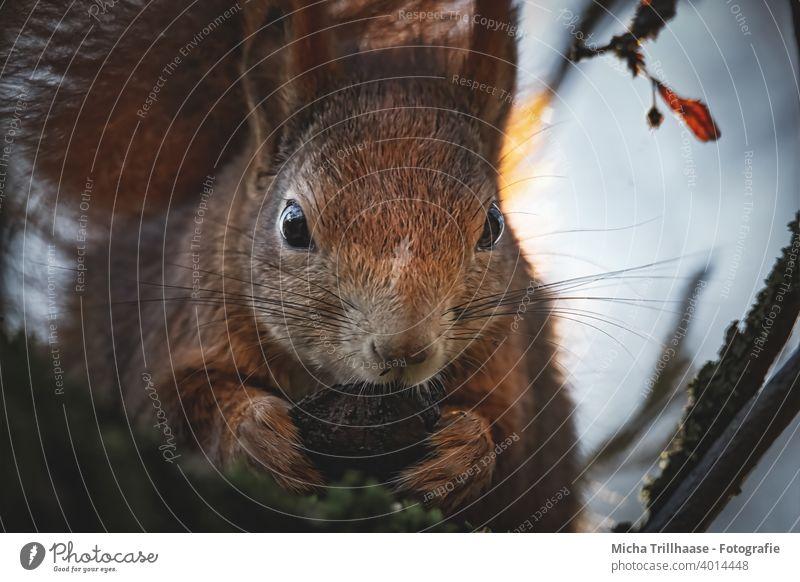 Fressendes Eichhörnchen in der Abendsonne Sciurus vulgaris Tiergesicht Kopf Auge Nase Ohr Pfote Krallen Fell Wildtier festhalten nah niedlich Baum