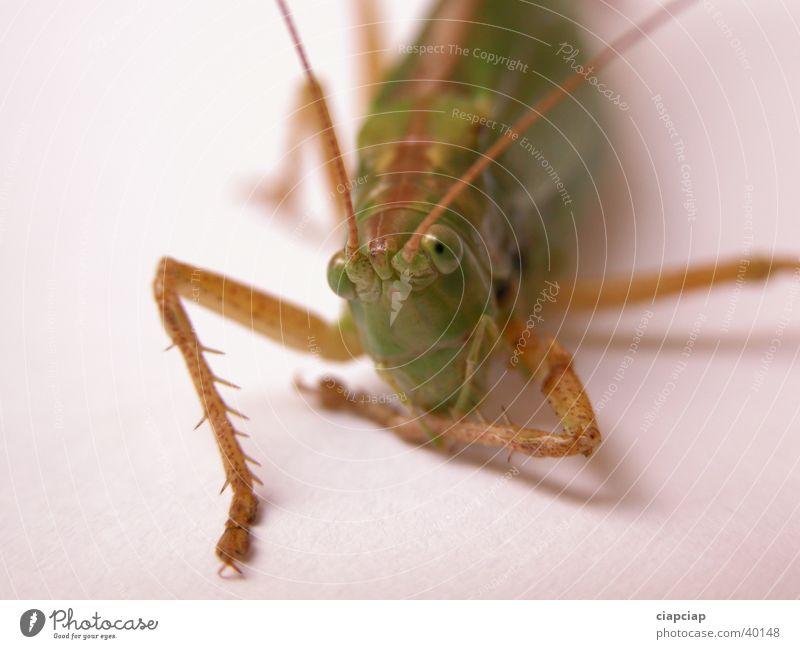 Heuschrecke Insekt