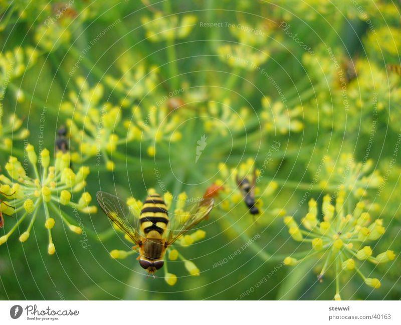 Sandwespe Blume grün gelb Verkehr Biene Anhäufung Staubfäden Wespen Nektar